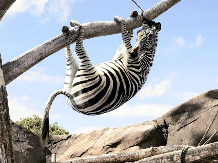 Funny-Zebra-65