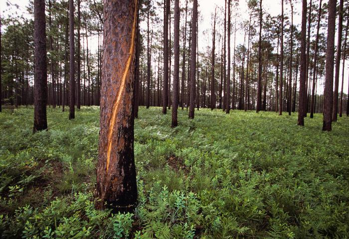 a-lightning-scarred-tree-in-a-forest-taylor-s-kennedy