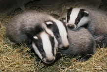 Badger (Meles meles) cubs at seven weeks, Captive.